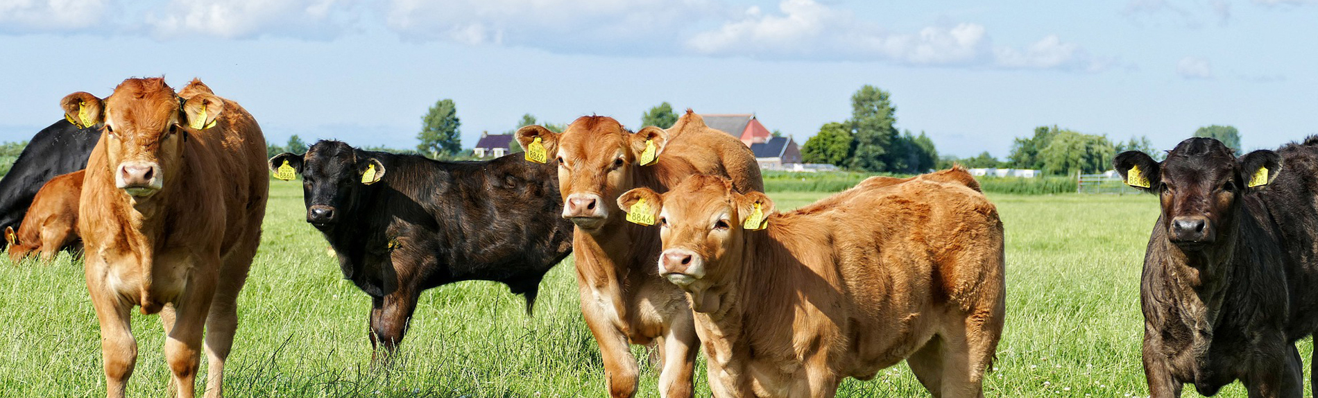 livestock tax deferral